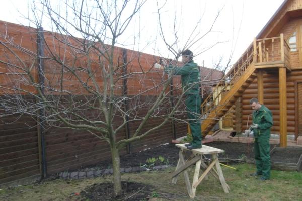 Если черешня сильно вытянулась вверх, нужно всоту и форму дерева подкорректировать