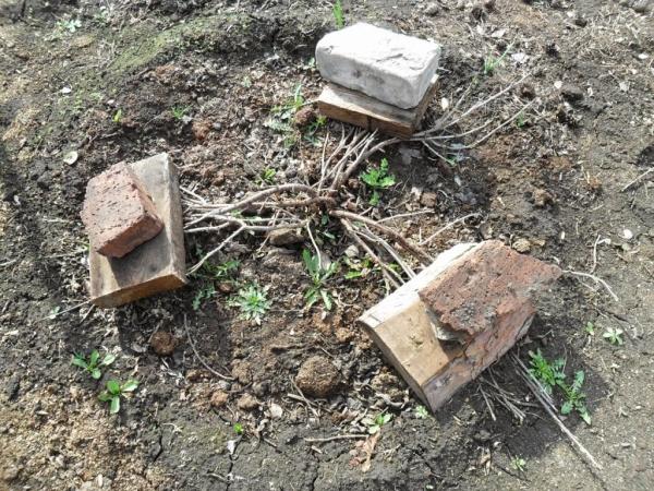 Для защиты от вымерзания ветки смородины можно прижать к земле кирпичами или неметаллической черепицей
