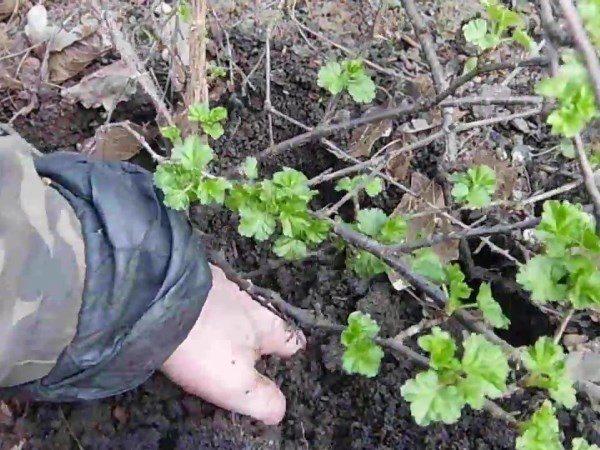 Подготовка к размножению крыжовника делением куста