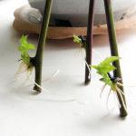 Размножение ежевики черенкованием