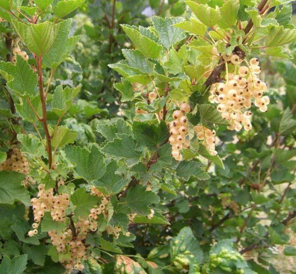 Кусты с гроздями ягоды белой смородины