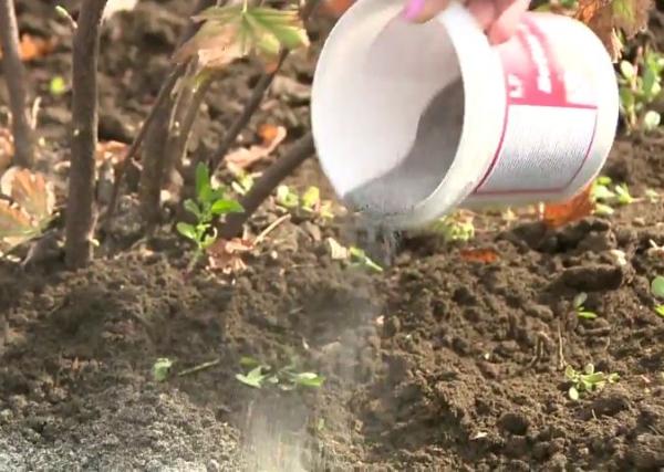 Перед перекопкой в почву необходимо внести древесную золу, которая содержит фосфор и калий