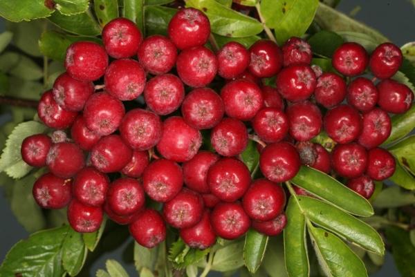 Рябина сорта Рубиновая хороша для переработки на соки, желе, вина, ликёры, кисели
