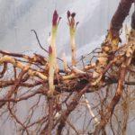 Размножение ежевики делением материнского куста