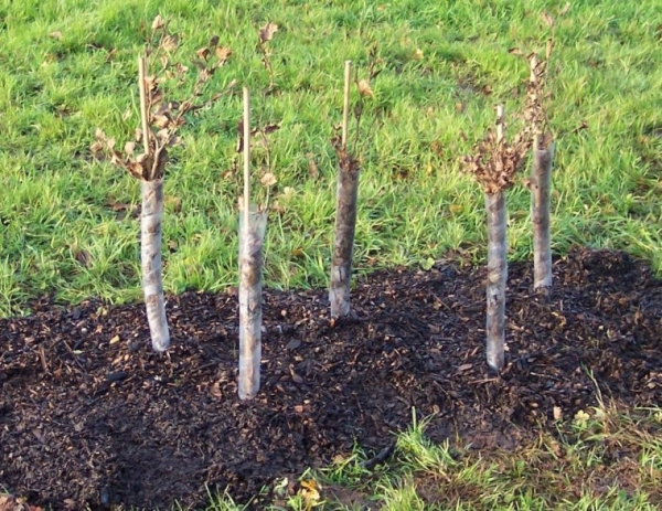 Уход за боярышником после посадки заключается в обрезке, поливе и рыхлении почвы, удобрении навозом перед цветением