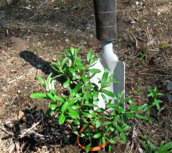Облепиха предпочитает нейтральные или щелочные почвы, не переносит соседства с другими растениями