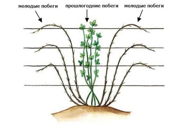 Схема формирования прямостоячего куста ежевики