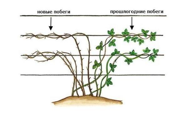 Схема формирования куста ежевики стелющихся сортов