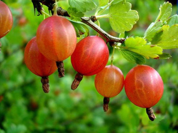 Красные плоды крыжовника