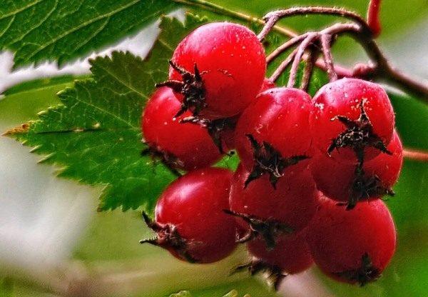 В народе боярышник называют «сердечной ягодой» за его способность лечить сердечные патологии