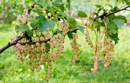 Грозди спелых ягод белой смородины