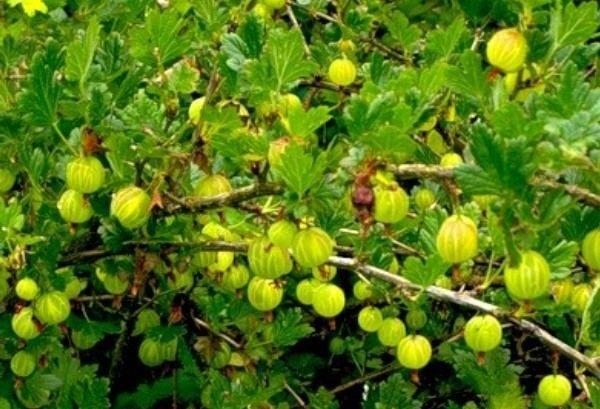 Куст со спелыми ягодами Крыжовника