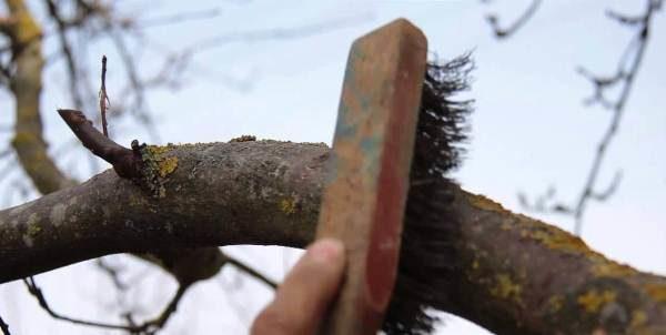 Очистка веток вишни от мха и лишайников