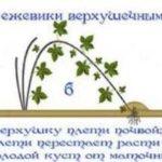 Схема размножения ежевики верхушечными отводками