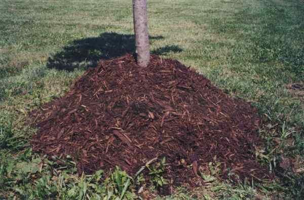 Мульчирование почвы поможет защитить корни вишни от морозов