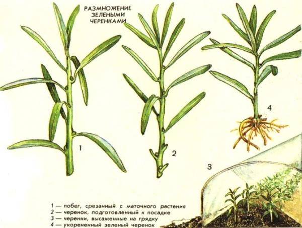 Размножение облепихи зелеными черенками имеет существунный плюс - 100% приживаемость, однако процесс трудоемкий, подходит для опытных садоводов