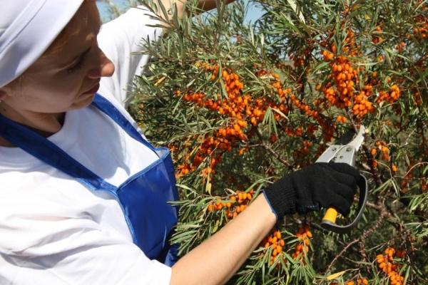 Существует несколько способов сбора урожая облепихи руками