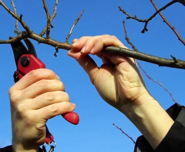 Формирование кроны начинают после достижения деревом возраста четырех лет, наилучшим периодом для этого будет вторая половина марта