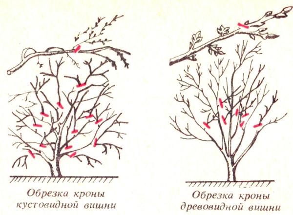 Кустовые и древовидные сорта вишни требуют разных подходов к обрезке