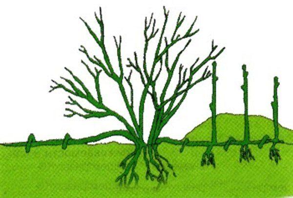 Схема размножения смородины отводками