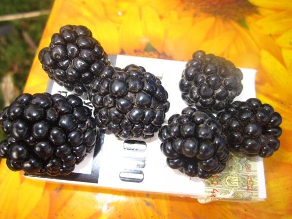 Плоды ежевики сорта Честер отличаются крупными размерами, с одного куста можно собрать до 20 кг ягод