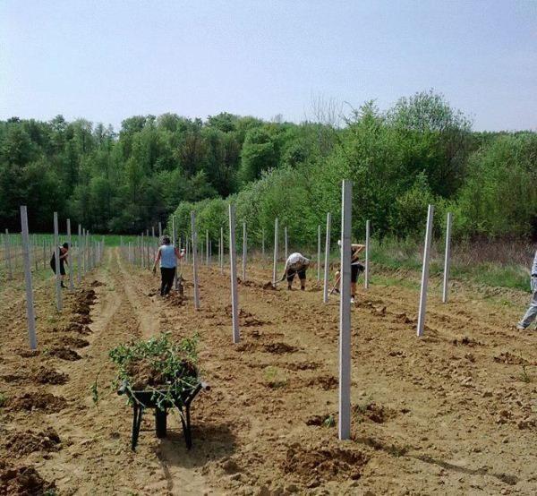 Ежевика выращивание и уход