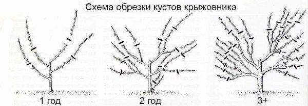 Формирование куста крыжовника - формирующая обрезка
