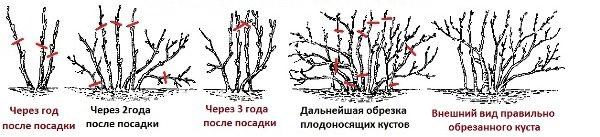 Схема обрезки смородины сорт Ядреная