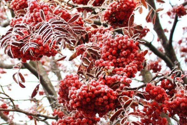 Сорта рябины, их описание и характеристики, состав плодов