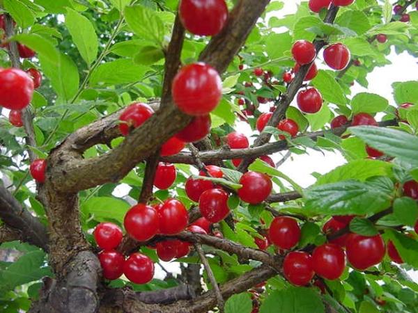 Обрезку войлочной вишни следует производить каждый год, поскольку крона загущается, а плоды дают только однолетние побеги