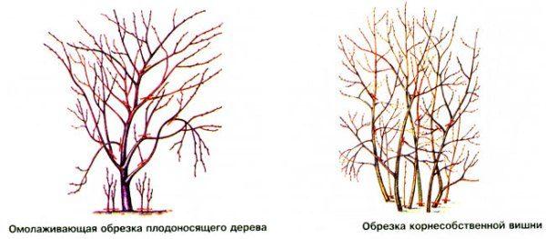 Схема осенней обрезки вишни разных видов