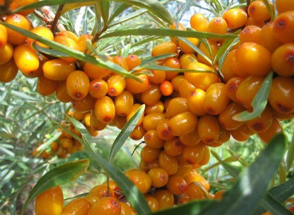 Как хранить ягоды облепихи: проверенные способы и подготовка к хранению