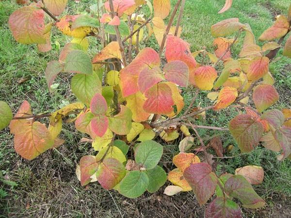 Осенью калину Гордовина подкармливают перегноем, фосфорными и калийными содержащими удобрениями