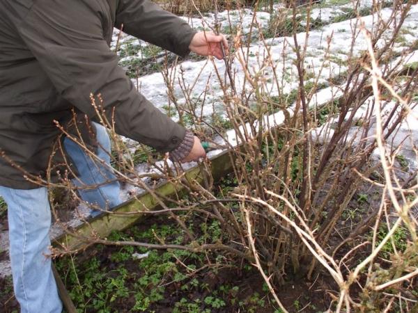 Правильный уход за черной смородиной гарантирует высокую урожайность в течение семи лет