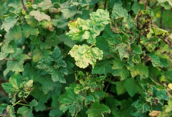 Тля на листьях смородины
