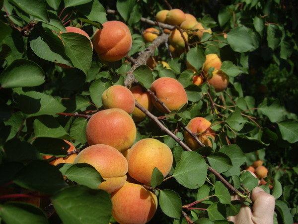 абрикос червонощокий