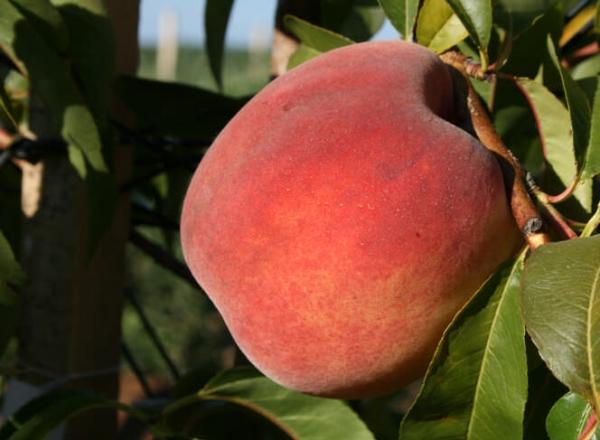 Лучшие позднеспелые сорта персиков: Фьюри, Фрост, Ветеран