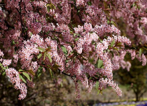 Ветки с розовыми цветами черемухи Колората