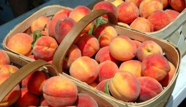 Описание сортов персиков: ранних, средней спелости и поздних, самоопыляемых