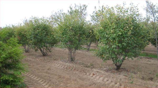 Ирга - раскидистый куст, поэтому при посадке следует выдерживать расстояние от соседних растений 2 - 5 м