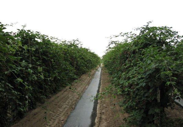 В междурядьях ежевики выращивают овощи или сидераты