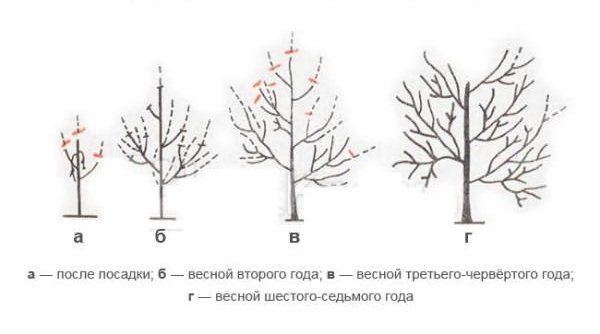 Схема формирования кроны абрикосы Триумф Северный