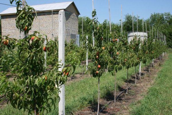 Укоренившиеся молодые персиковые деревья