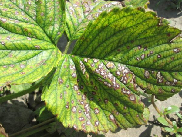 Белая пятнистость листьев земляники