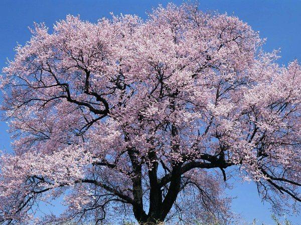 Абрикос сорт Краснощекий в цвету