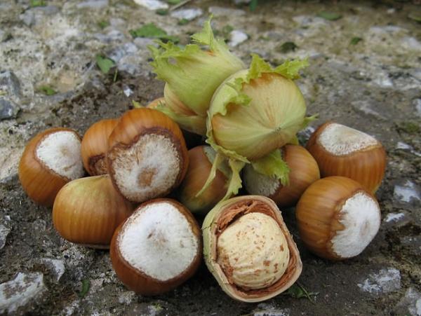 В народной медицине применяют масло ореха, кору и листья, плоды