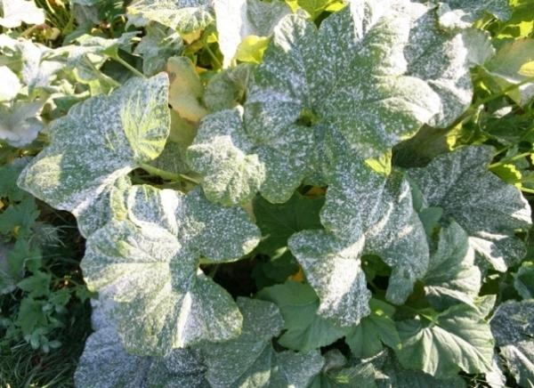 От мучнистой росы нужно опрыскать смородину Фитоспорином или раствором аптечного йода, применить 1% медный купорос