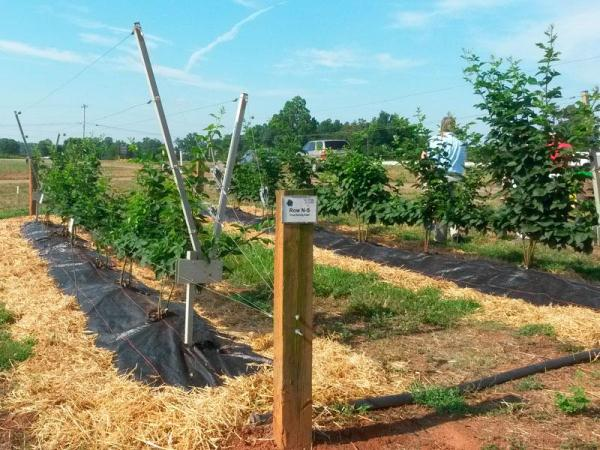 Ежевика выращивание на шпалере 55