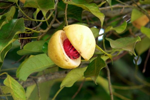 Мускатный орех - это сердцевина плода мускатного дерева, нечто вроде ядра абрикосовой косточки