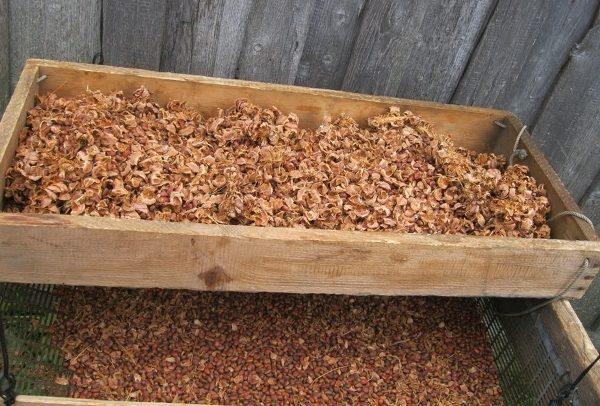 Извлечение кедровых орехов из шишки